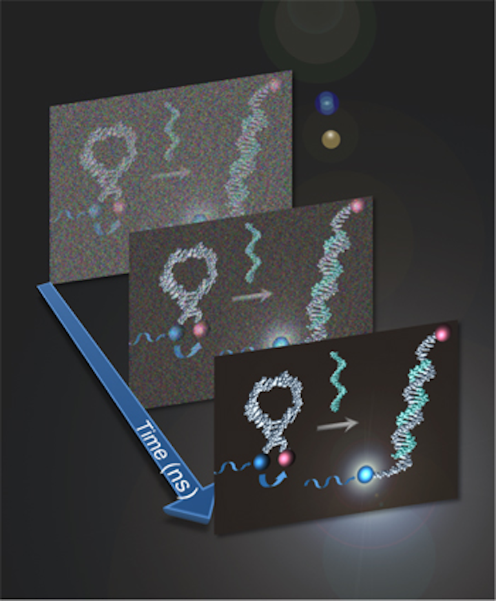 Optimizing results from photoluminescent probes essential to the study of microscopic structures like cells, proteins, and DNA, time-resolved spectroscopy doubles the efficiency of a hairpin-shaped probe called a molecular beacon (left) to find a specific DNA sequence by maximizing the amount of signal pulled from the background noise