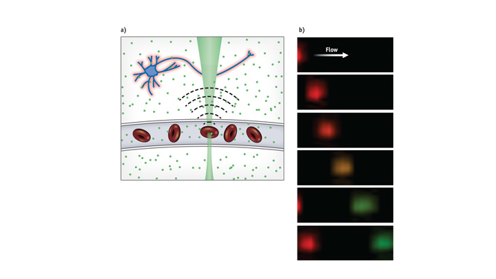 Because oxy- and deoxy-hemoglobin absorb photons differently (a), oxygen content can be detected through the ultrasound waves each cell emits when exposed to two sequential pulses of different color laser light. False coloring (b) shows the oxygen content of red blood cells: Red represents high and green represents low oxygen levels.