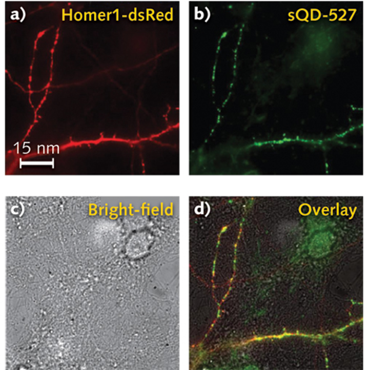 NEUROSCIENCE: Small, stable quantum dots advance real-time