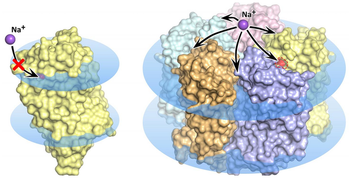 KR2 rhodopsin monomer (left) and pentamer (right) in the cell membrane, shown as blue disks; in the monomer state, sodium transport is blocked and the orange pore does not permit ion uptake into the protein.