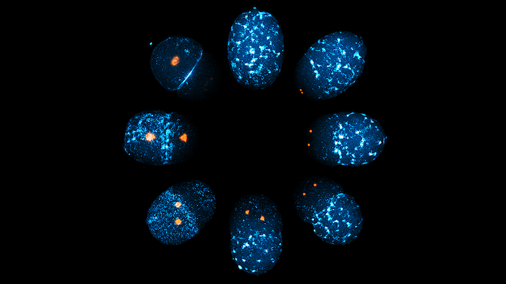 A C. elegans zygote undergoing symmetry breaking, during which spatial uniformity in cortical myosin-II (blue) is lost to establish an anterior-posterior polarity (clockwise order from the top), is shown; the local and global downregulation of cortical myosin-II networks during polarization is controlled by the mitotic kinase Aurora-A (orange).