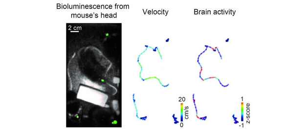 In four mice, bioluminescence from the primary visual cortex (green) was observed at the same time (left); pseudo-colored locomotion trajectories, indicating velocity (center) and brain activity (right) of four mice freely interacting each other in the same cage, are also shown.