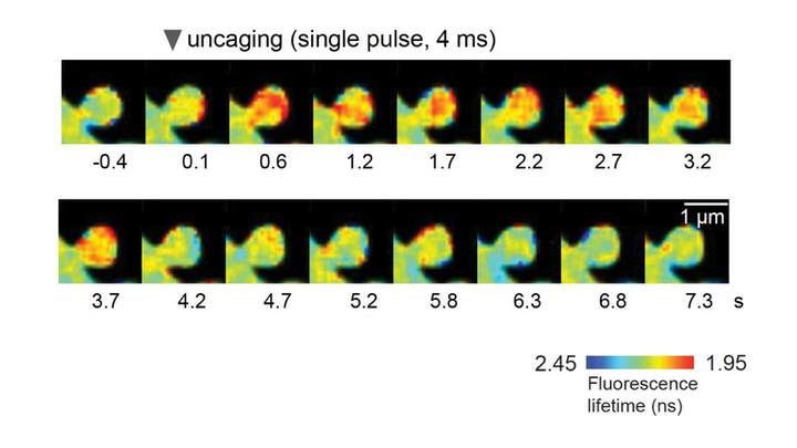 Representative fluorescence lifetime images of this sensor in response to glutamate uncaging to simulate plasticity in single synapses; warmer colors indicate lower fluorescence lifetime, corresponding to a higher activity.