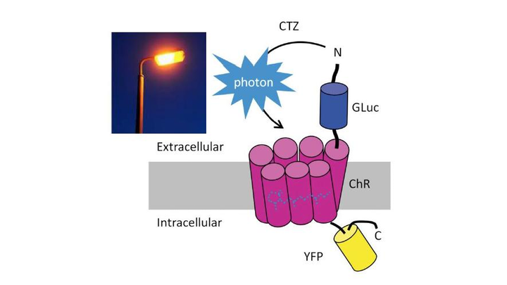 Gaussia luciferase (Gluc) is fused to the ChR protein. ChR can be activated by blue light or by light emitted by Gluc when binding to its substrate coelenterazine (CTZ). YFP = yellow fluorescent protein.