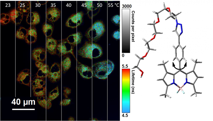 Rice University chemists modified BODIPY molecules to serve as nanothermometers inside cells. The chart on the left is a compilation of fluorescent lifetime micrographs showing the molecules' response to temperature, in Celsius. At right, the structure of the molecule shows the rotor, at bottom, which is modified to restrict 360-degree rotation.